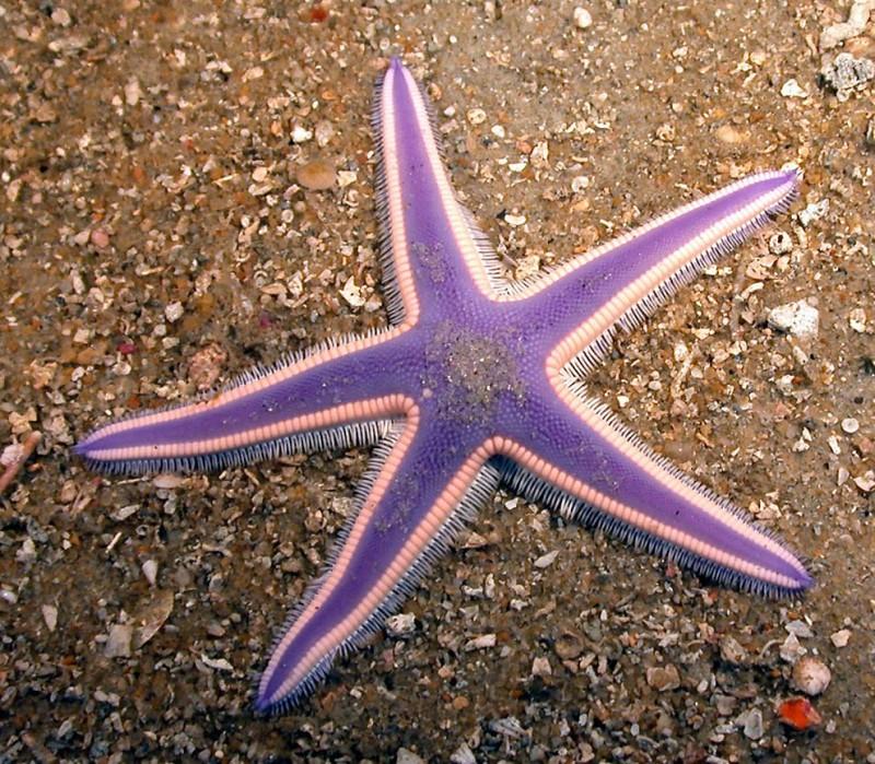 Estrellas de mar (10)